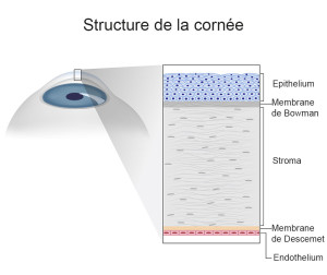 SCHEMA-STRUCTURE-DE-LA-CORNEE_127500686-FRANCAIS-BD